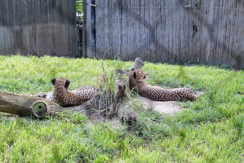 Cheetahs at the Smithsonian National Zoo