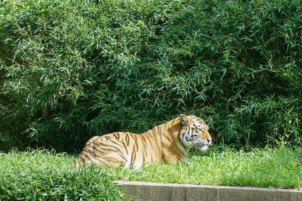 Tiger resting in the grass at the Smithsonian National Zoo