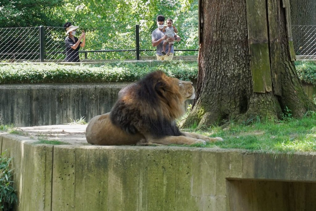 Lion at Smithsonian National Zoo