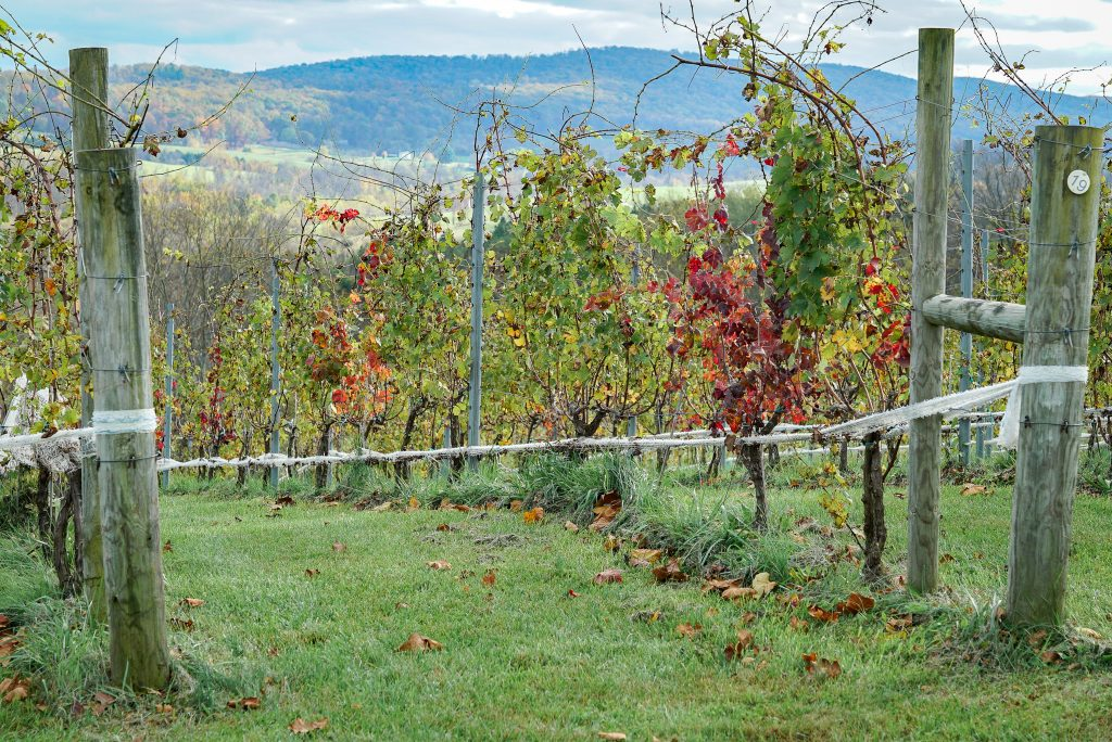 Grapevines with green red and yellow colors and the mountains in the background