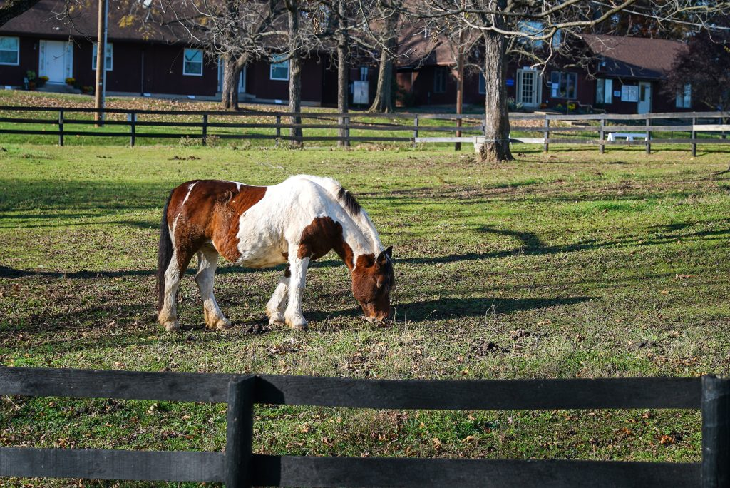 Horse with white and brown spots grazes on green grass