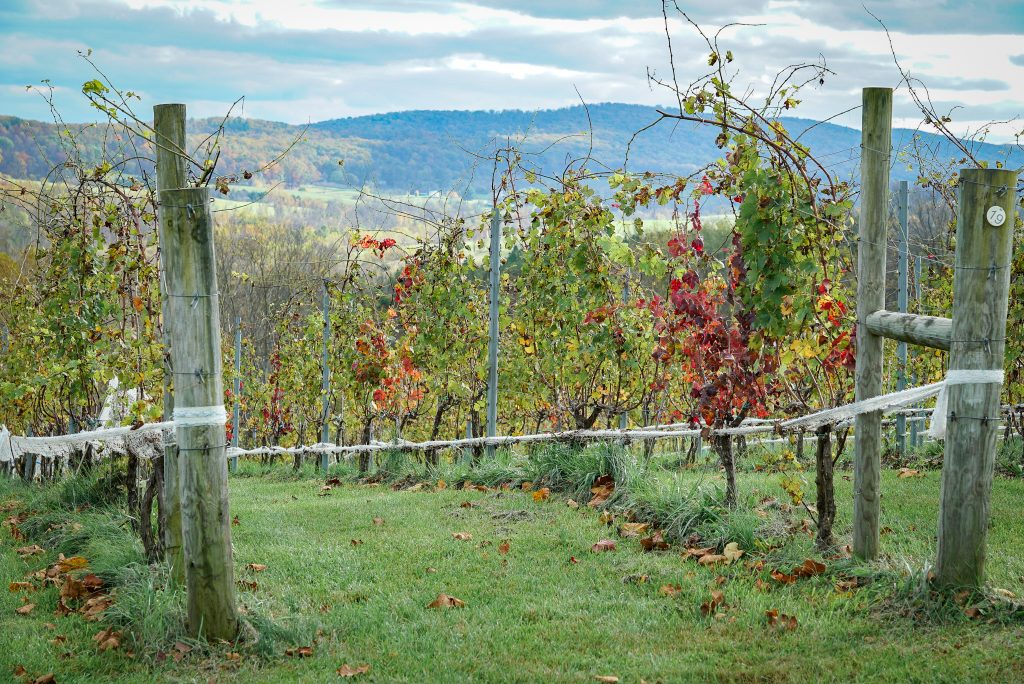 Grape vines - Ultimate Virginia Wine Country Guide
